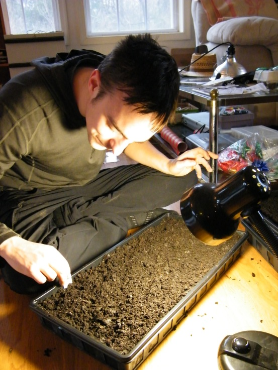 Gus is sowing herbs into trays of potting soil.