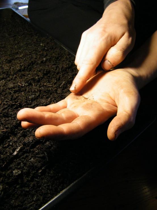 Sowing oregano.
