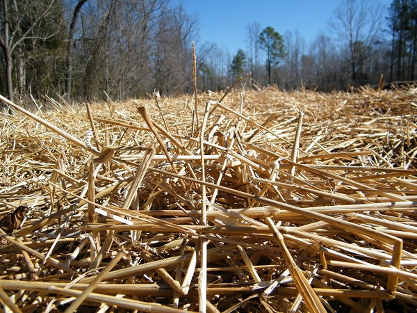 Straw mulch on the asparagus beds.