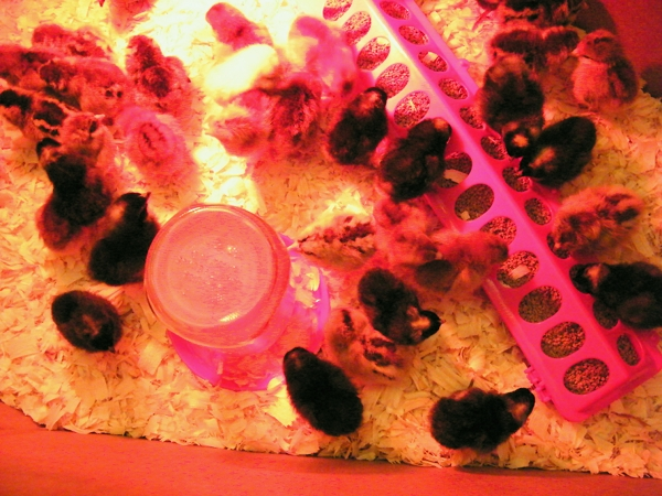 Day-old chicks in the brooder.