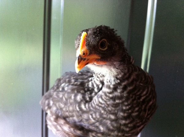A lovely Barred Rock hen.