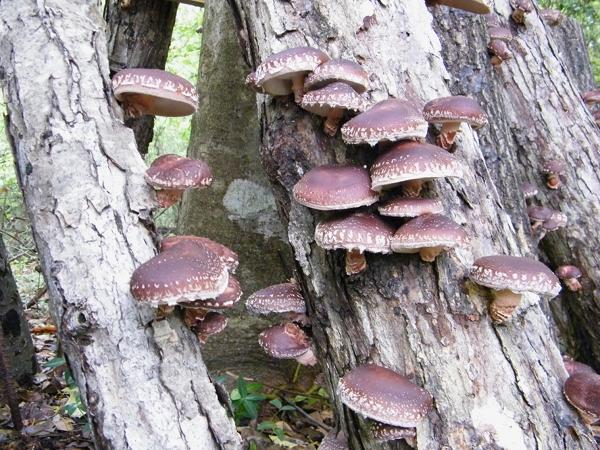 Fruiting shiitake mushroom logs.