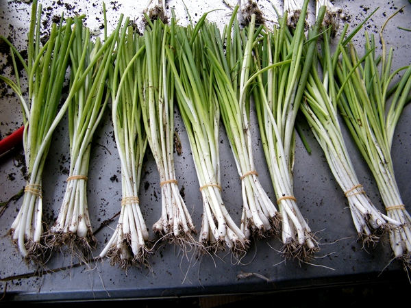 Green onions, ready for market.