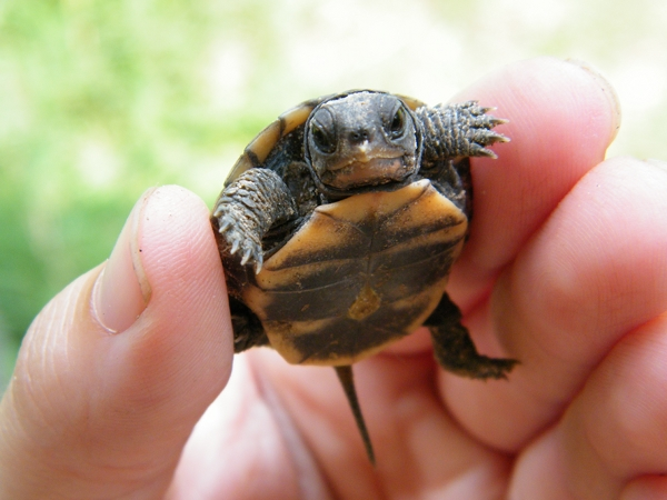 This baby Box Turtle hatched on the farm.