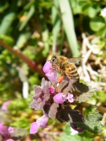 One of our honey bees collecting pollen