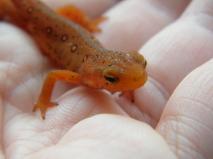 A newt on the farm!