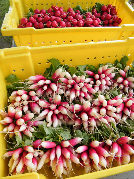 Fall radishes.