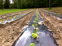 Squash transplants in the spring