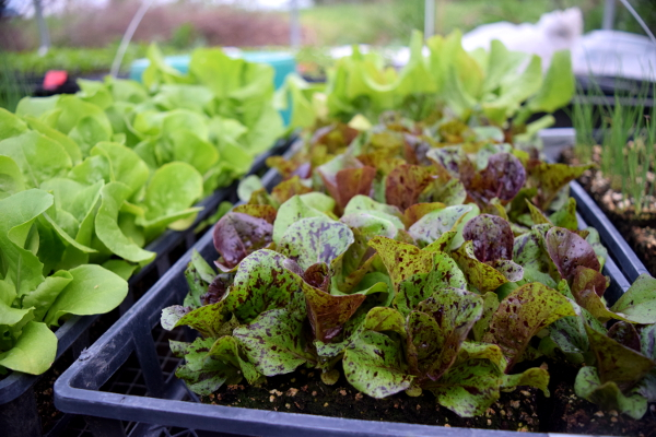 Lettuce patiently waiting its turn to be planted.